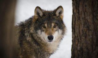 La situazione del lupo nelle Alpi davide franchini